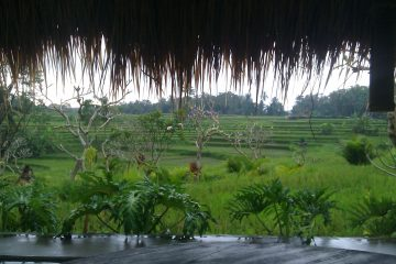 The view looking out across the rice fields in the village of Ubud in Bali.
