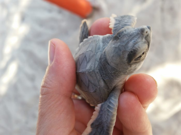A close up photo of a sea turtle in the hand of a woman so you can see the head and body