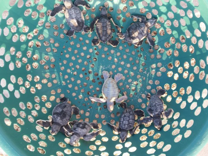 A dozen rescued baby sea turtles in a teal colored basket after a search and rescue effort at the beach in Cozumel