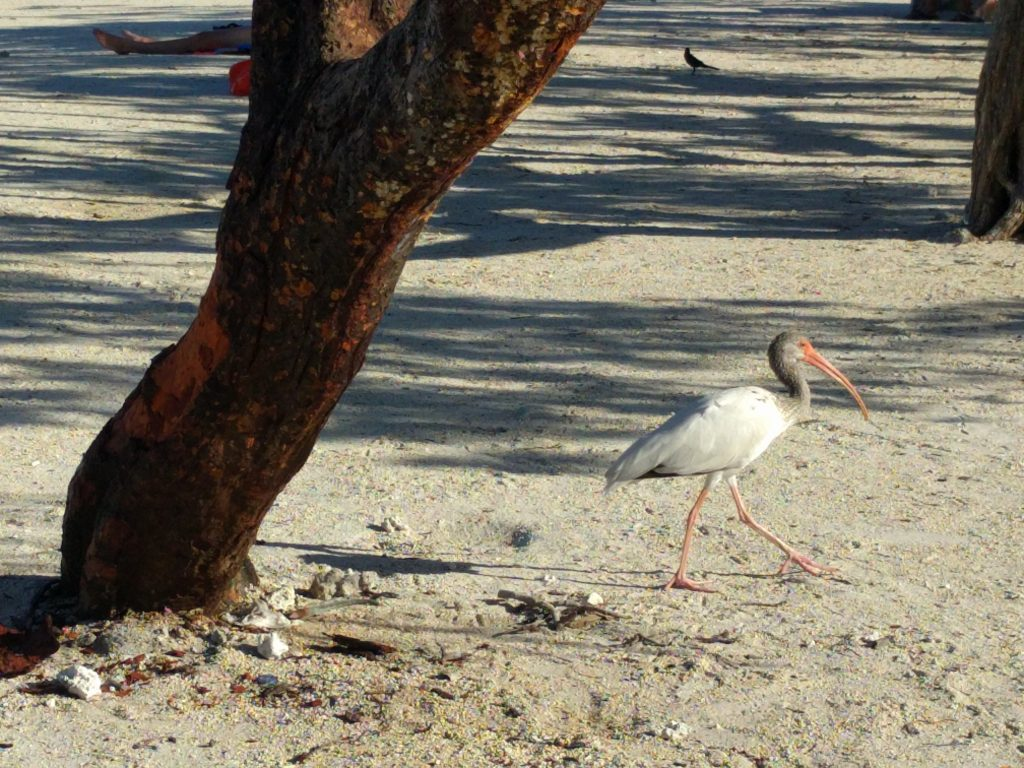 A white and grey bird walks arcross the sand in the Florida Keys with a tree trunk in the foreground