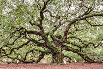 An angel oak tree with a thick brown trunk and branches that reach out and up across a vast expanse. The branches have green leaves and the ground is a rust colored and filled with dirt. The tree is the focus of Allstate's brand messaging.