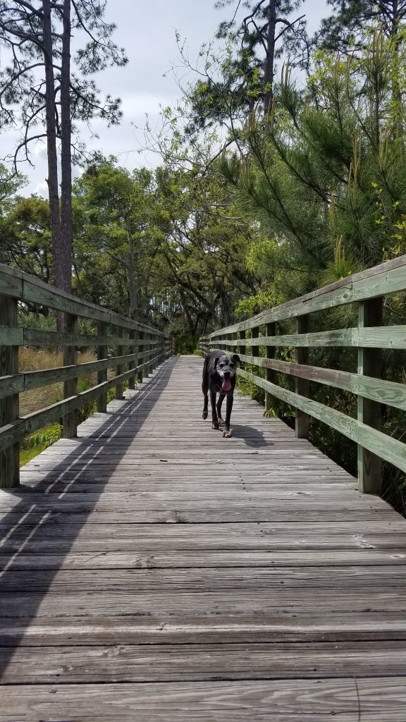 A black lab with a gray face trots on a wooden bridge in the woods with green trees behind.